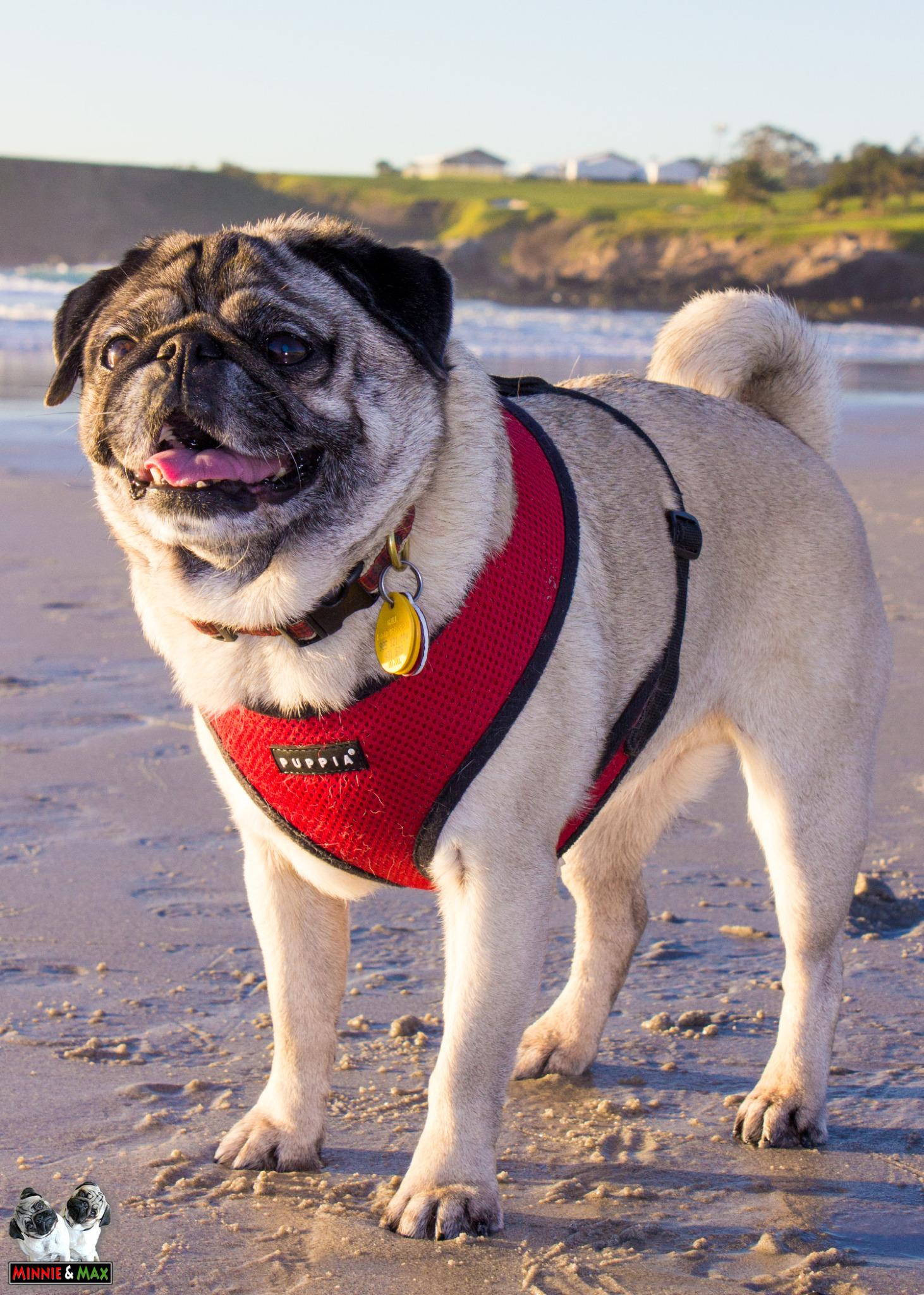Minnie. #BeachBunny #pug http://t.co/DELJqlYJyX