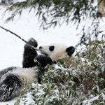 米ワシントンのパンダ「宝宝(バオバオ)」、吹雪に負けず外遊び http://t.co/d0LVZY7RRb http://t.co/z6aZHCQDOW