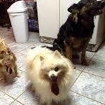 Surf Dogs San Diego #SDart619 #SurfDogs #Pomeranian #Dogs #SanDiego #OneEyeDog #Pets #Art … http://t.co/ZK4Q5Un1dT http://t.co/FHl0DklMXi