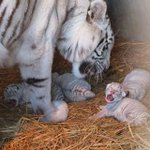 【きゃわ~】東武動物公園にホワイトタイガーの四つ子が誕生 http://t.co/68sKhyzZA7 発育が順調にいけば、4月ごろにお披露目となるようです。 http://t.co/Dck9PTYWaT