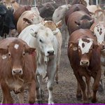 The #Botswana Meat Commission in #Maun is due to resume selling live #cattle to #Zimbabwe. http://t.co/3H1IxL19C4