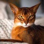ATT Cat People: My mate has given up the BF hunt! Shes looking for an #Abyssinian or #Bengal cat in @CapeTown. HELP? http://t.co/kNq8qiGZz6