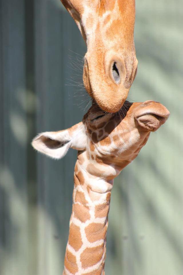 So CUTE! Baby girl giraffe born January 17 to Naomi + Duke #giraffe #zooborns #onlyinjax http://t.co/o1yQ1N7rXD