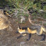 Rare Sierra Nevada red fox spotted for first time in nearly 100 years in Yosemite park http://t.co/Jfr4iPlFLz http://t.co/zbvs3frcUC