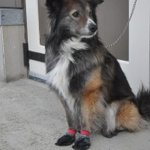 Whitehorse homeless outreach program offers free boots for dogs http://t.co/pVkji8Wcj1 http://t.co/ghHX3vS0Pe