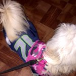 My puppy ready for the Super Bowl xD???????????????? wearing her jersey #Seahawks #Seahawks #Seattle @Seahawks http://t.co/EwjHc1sO4u