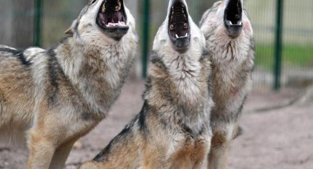 Ich werde #Wölfe immer lieben Foto: Carmen Jaspersen/Archiv http://t.co/cUt6NCf9sN