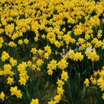 Keep looking out for the 1st daff blooming on the ramparts.1st to tweet me the location wins @VisitYork York Pass http://t.co/m7nT35HAyH