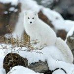 Продолжаем зимнее ми-ми. Сегодня полярная лисичка http://t.co/axLNG05Rmu