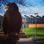 To deter seagulls from attacking students, the University of Sussex calls in the American Harris hawk. http://t.co/TyIu2erA8p