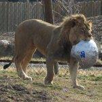 The @HogleZoo lion has predicted the @Patriots to win #SB49: http://t.co/se1QSHInzu http://t.co/CFezBeKwFA