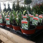 We say galanthus; you say snowdrops! Now in stock. #Harrogate #York http://t.co/t6jObWSVrm
