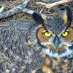 SavannahOwls @SavannahOwls We are on hatch watch! Have you submitted your guess? http://t.co/XJ9MYr3h5t  http://t.co/BPjDYejBQI