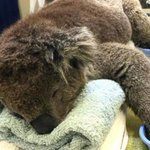 Koala back on his paws and back in wild after recovering from burns he suffered in bush fire. http://t.co/CCg1FTjTKa http://t.co/usMu6S2JY1