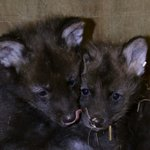 The manded wolves at @LittleRockZoo had 2 pups in December. Mom & Dad, Gabby & Diego, & babies are doing well #arnews http://t.co/lPmkySTxrX