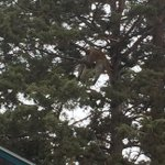 #inbend cougar slumped over branch on Polaris court @KTVZ http://t.co/ILjRul1Bgv