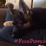 Seen #LostPup Pippen? Call Esther at 416-939-5306 or email estherb@piaboumanschool.org Thanks! #FindPippen #Toronto http://t.co/88t8s4lokN