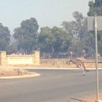 Wildlife trying to escape the smoke - this fella almost cut himself trying to jump a wire fence @9NewsPerth #kangaroo http://t.co/GYZlLuoyqJ