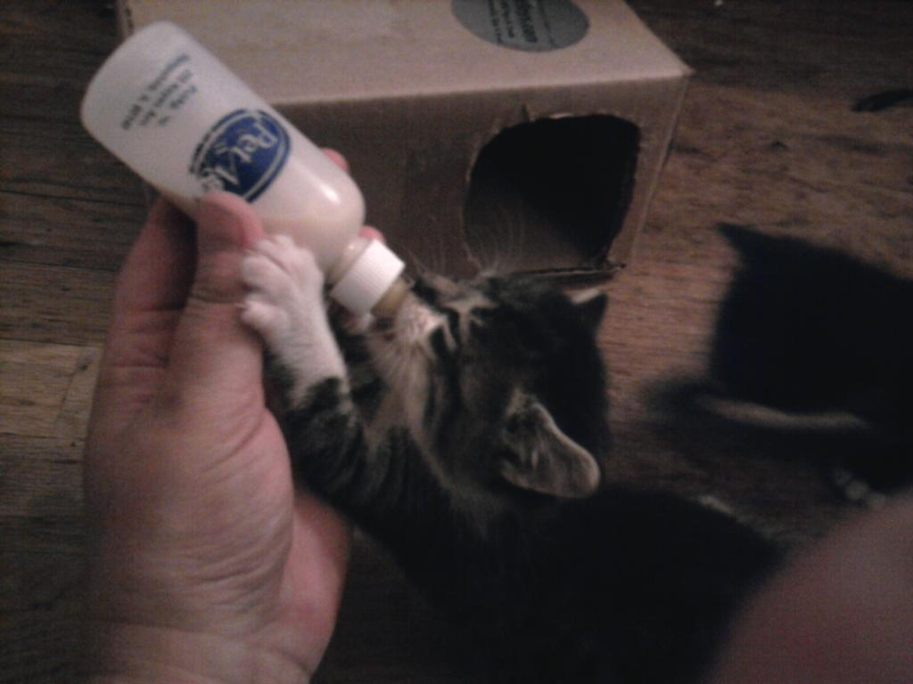 @AwwwwCats @phycoinsc Hand-reared cats are so sweet and gentle! http://t.co/TEzQnL75hC