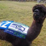 Even Miss Marvel the 12th Alpaca is ready for the Super Bowl! Happy Super Bowl eve! #GoHawks! http://t.co/rn4Hl8ZuzN