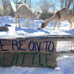 Tailgating party @RWPZoo camels crush Seahawks @projo photo Kathy Borchers http://t.co/2QqtCpaln6