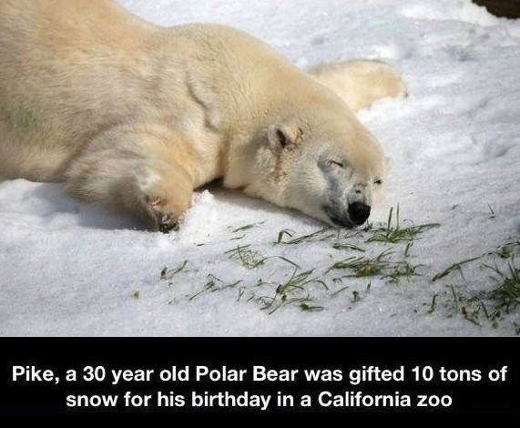 Pike, a 30 year old Polar Bear was gifted 10 tons of snow for his birthday in a California zoo. http://t.co/ru5OIcWfHU