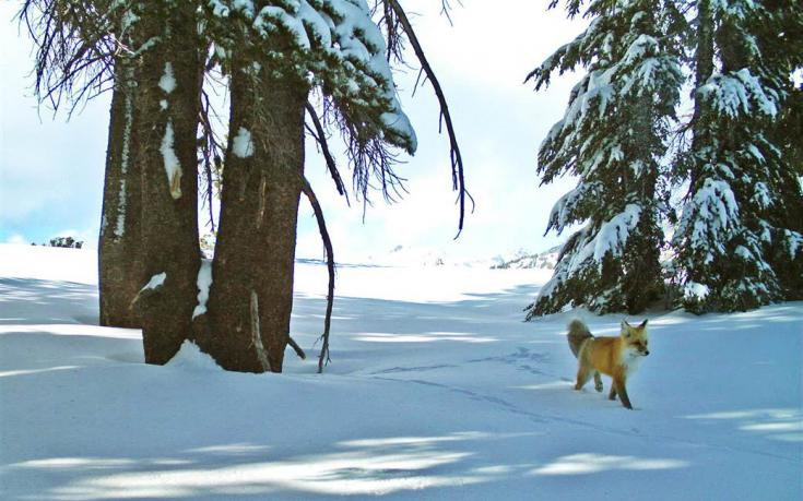 You've heard about the #Yosemite #redfox sighting, but do you know why it's a big deal? Learn: http://t.co/6Xl32Q3akv http://t.co/W25DY3ahac