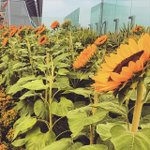 #Singapore #Changi #Instapic by @dewimagery - #sunflower #gardens at #singapore #airport http://t.co/n9eeUK93Dv