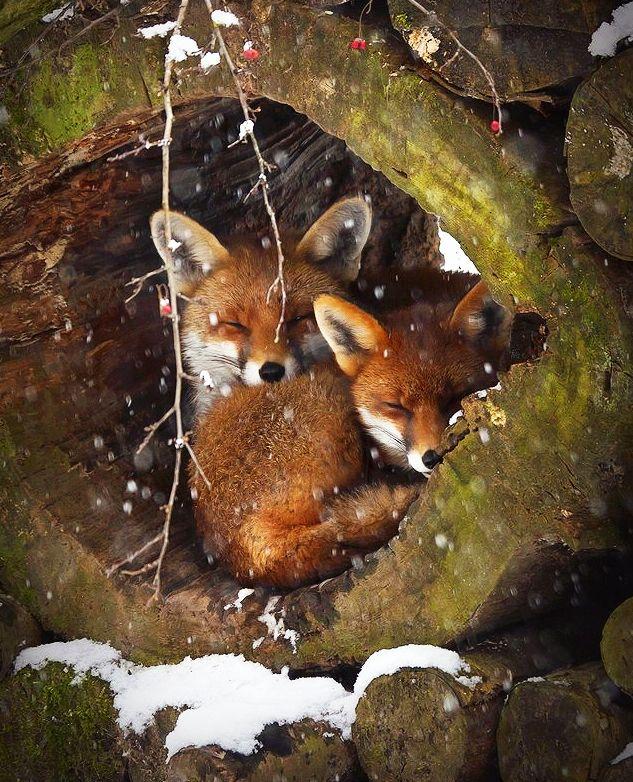 Red foxes http://t.co/8Y8yAJzQzJ