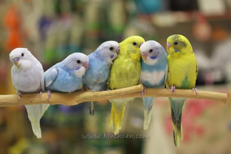 おは金ございまーす(^з^)-☆ ペットパーティ金鳥園の手のりセキセイインコたち http://t.co/W2Lz6OVbgi