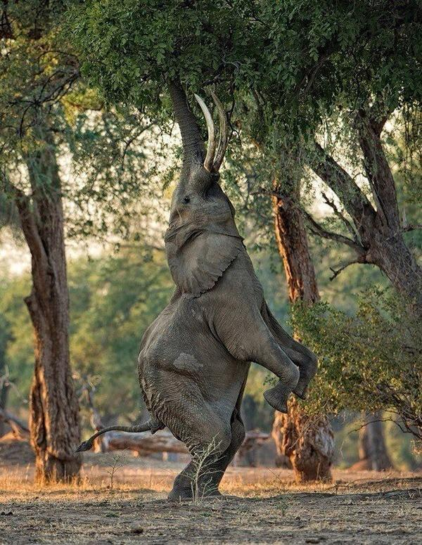 A gorgeous picture of an elephant reaching out for the trees. http://t.co/59ryLK077w