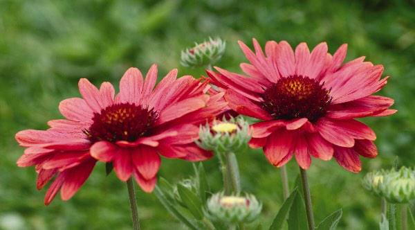 Friends at @NatGardenBureau 2015 is the year of the  Gaillardia! (( I love it - they are easy to grow!)) #gardenchat http://t.co/b8nJ7rpnaL