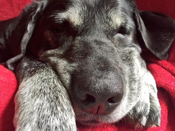 !! HAPPY BIRTHDAY !! To the first dog that stole my heart -- OTIS. He\s a spry 13 y.o. as seen here: