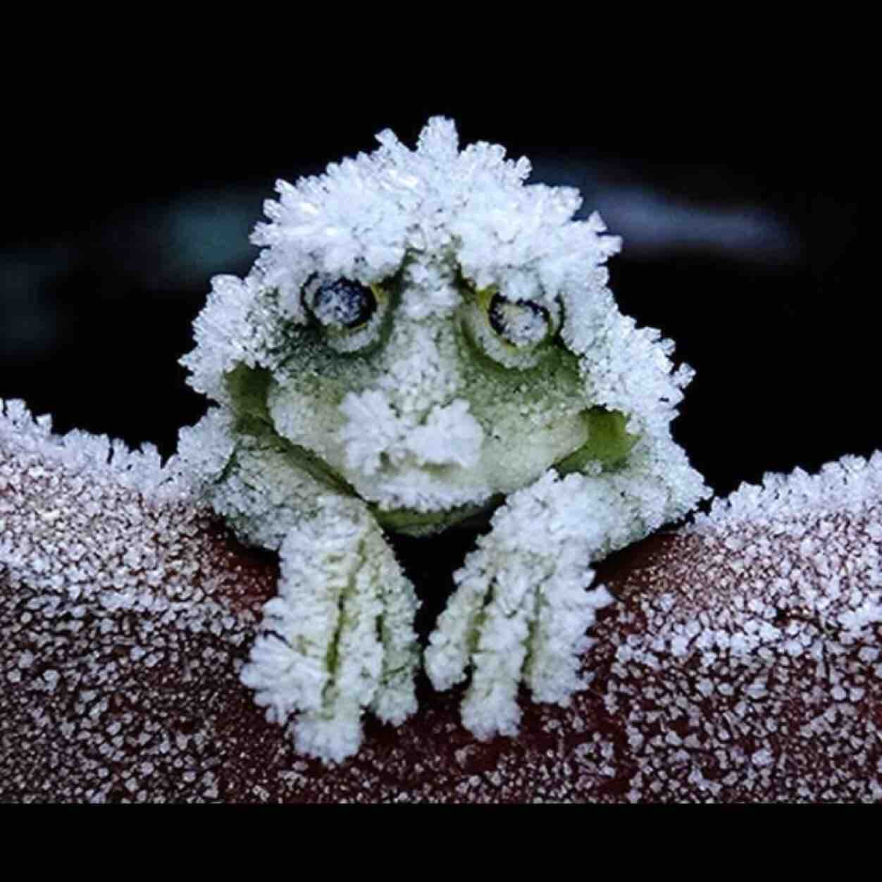 The Alaskan Tree frog freezes solid in the winter, stopping it's heart completely, and then unthaws in the spring. http://t.co/iUqAUxXYmv
