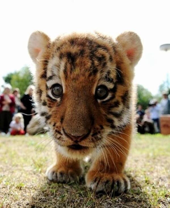 Baby Tiger: http://t.co/HDz07xp9qv