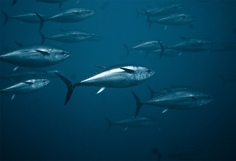 Tuna time bomb: Rising mercury levels in tuna may make the fish off-limits in a few years http://t.co/oyCiIN0wa9 http://t.co/iPYEZ8G3N0