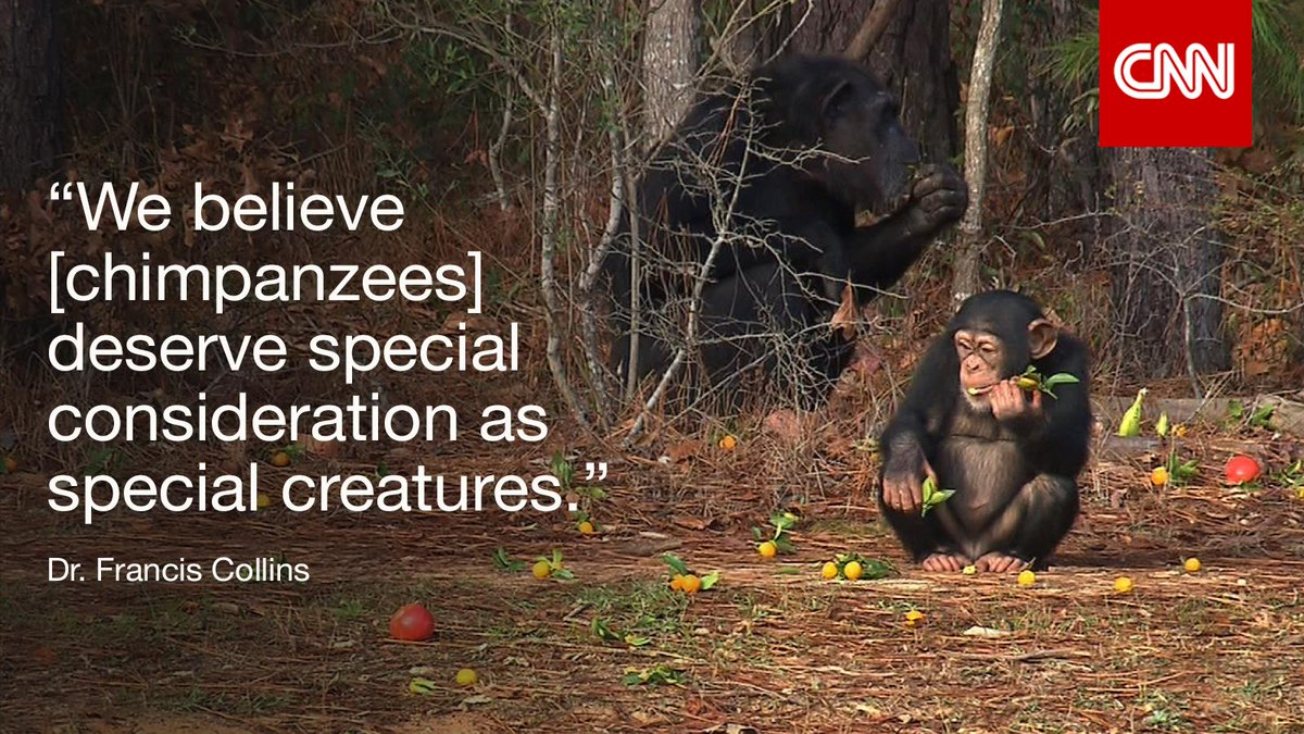 Advocates say @NIH dragging out retirement of 100s of research chimps promised sanctuary. http://t.co/v3yP6VpMrh #cnn http://t.co/OnEwoXuB3J