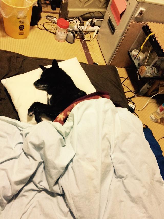 風呂あび浴びて部屋に戻ったら人の布団で犬がガチ寝してた http://t.co/qqIj3TosEn