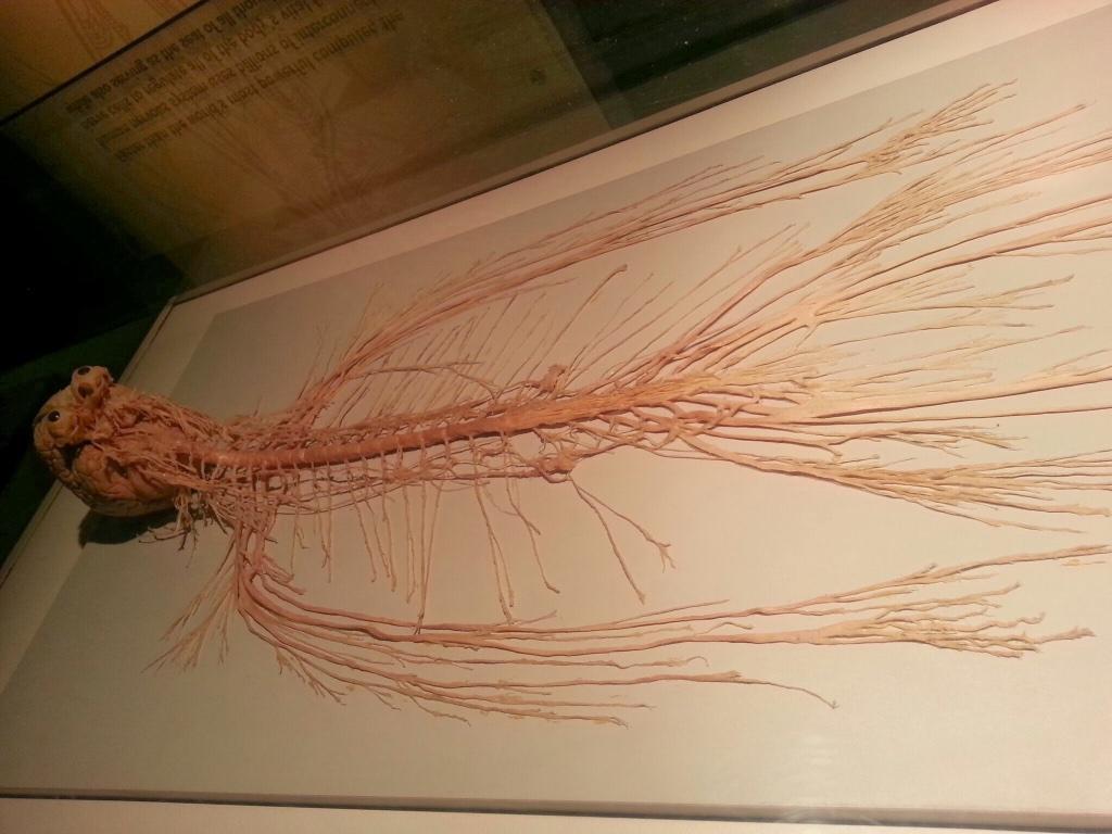 هذا جهاز عصبي مركزي تم استخراجه من جثة انسان ، صورة تدعو للتواضع وعدم التكبر http://t.co/ncyR9Ug83y