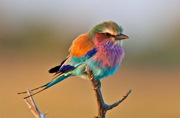 Colors Of Lilac Breasted Roller Bird By Lee Hunter: http://t.co/QiWraAnj4P