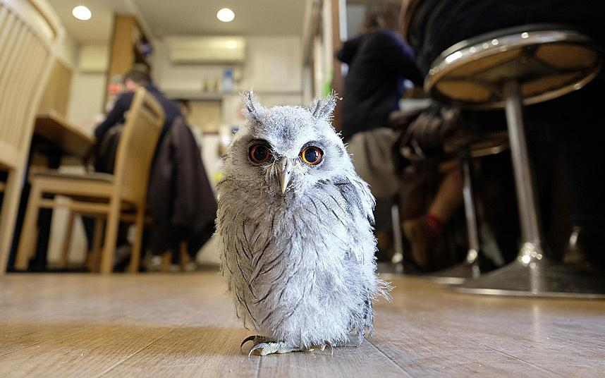 OMG! It's my dream come true! The Tokyo cafe where patrons play with owls as they sip tea http://t.co/0CiLnAC6xT http://t.co/2qfS5iBoTq