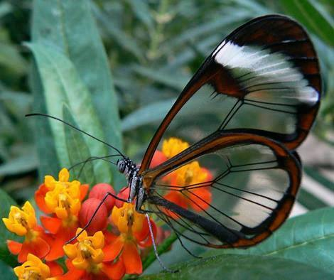 The rare and beautiful Glasswing Butterfly: http://t.co/0MFpQHgbNy