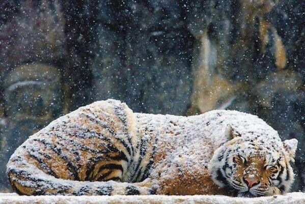 A tiger's fur coat is so warm it can stay toasty warm even during snow: http://t.co/DNopk2I6qI