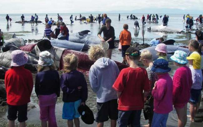 Quedan en varadas en Nueva Zelanda unas 200 ballenas http://t.co/neFgEKjz1X