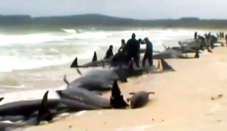 Unas 200 ballenas se quedan varadas en una bahía de Nueva Zelanda http://t.co/fVqJN2odEE