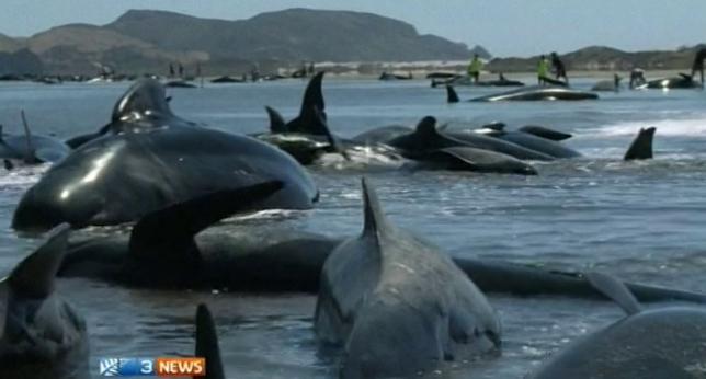 Unas 200 ballenas piloto varadas en Nueva Zelanda. Algunas podrán ser devueltas al mar. ▶ http://t.co/zVlhHFvPui