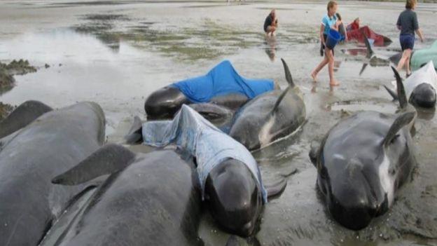 Quedan varadas al menos 200 #ballenas piloto cerca de la bahía Golden, en la Isla Sur de Nueva Zelanda; han muerto 20