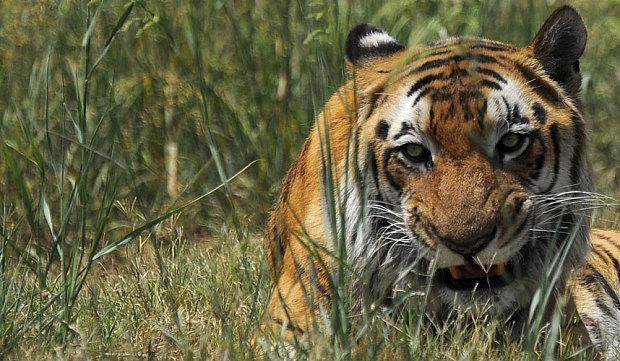 Eye for the tiger: @LisaGrainger4 spots the majestic felines in India @Greavestours: