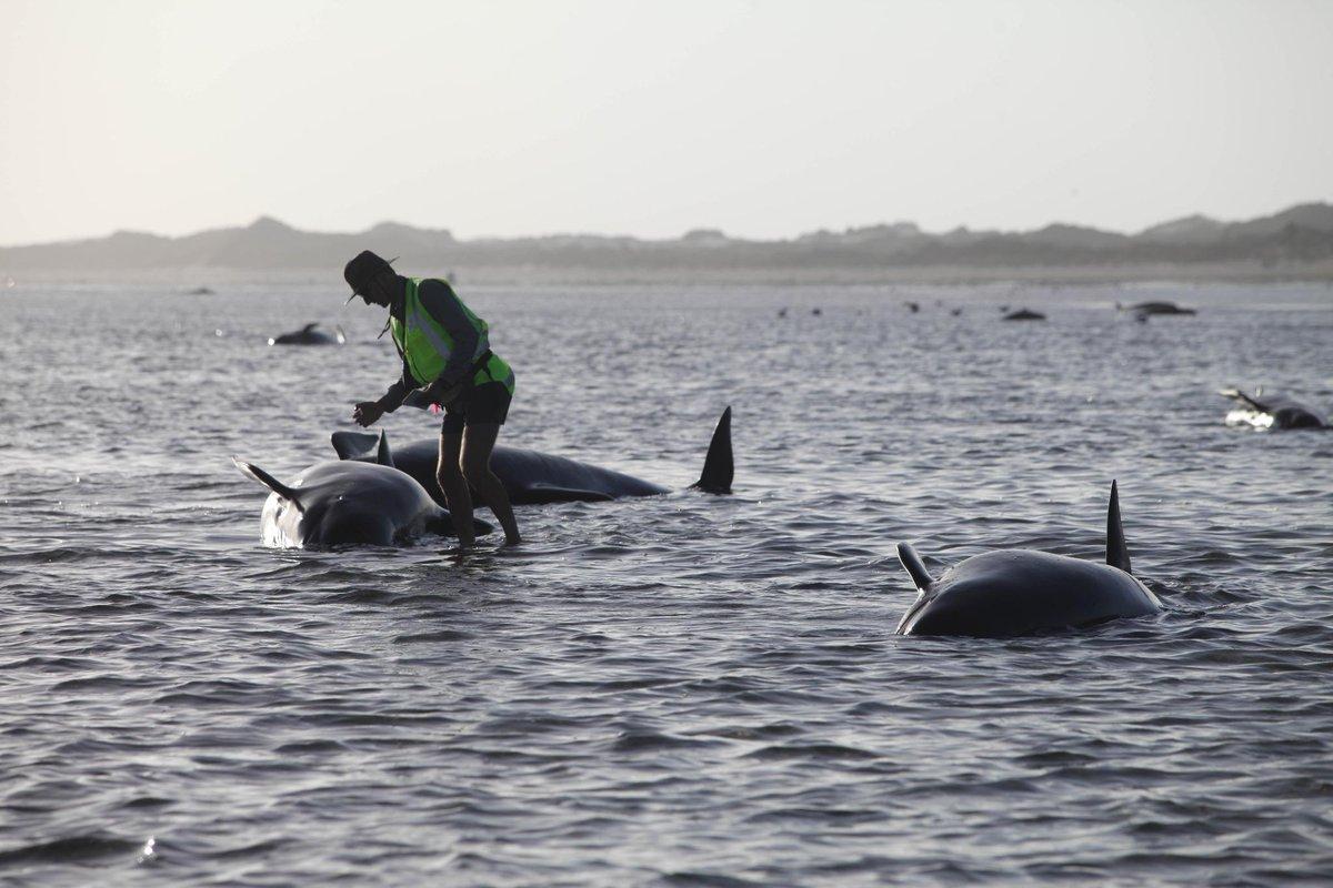 Casi 200 ballenas quedan varadas en costas de Nueva Zelanda http://t.co/wxk5wfxAyF