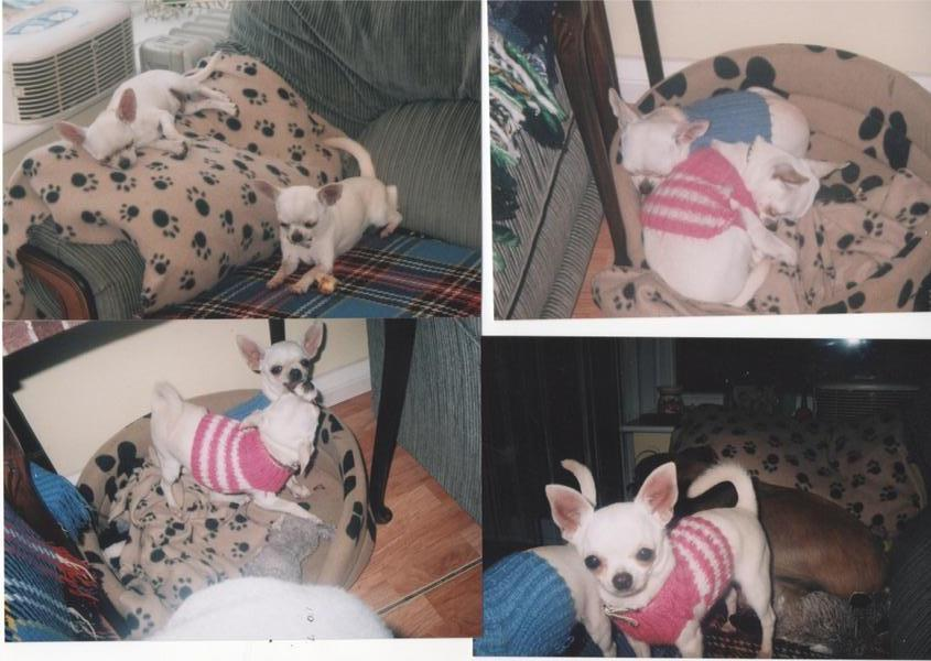 #FF #FF #White #Chihuahua, likely 2 be carried in this weather! Please @find_phoebe #Dogs #Stolen #Lost http://t.co/hTLLKnyUoM